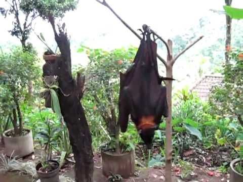 Riesen Fledermaus Entdeckt