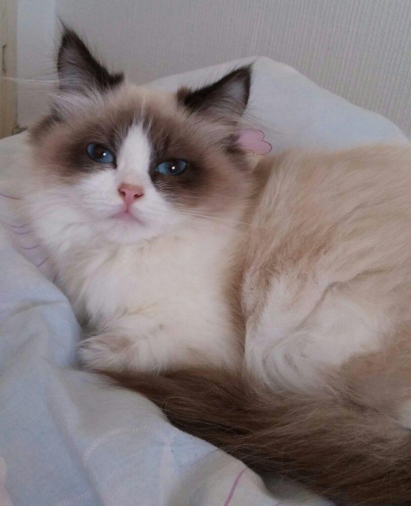 Looks Like Kitty Ragdoll Cats Cats Cats Kittens Siamese Cats