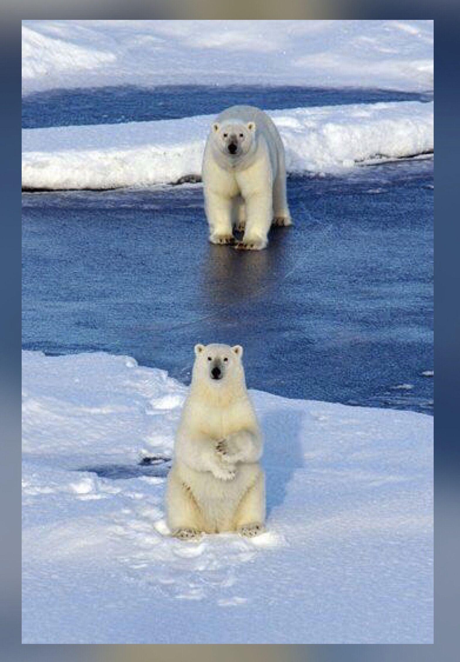 Pin by Kar3n.59 on Jehovah's Awesome Creation Polar bear