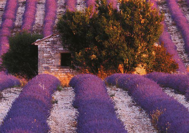 Lavender postcard from Provence, France by katya., via Flickr