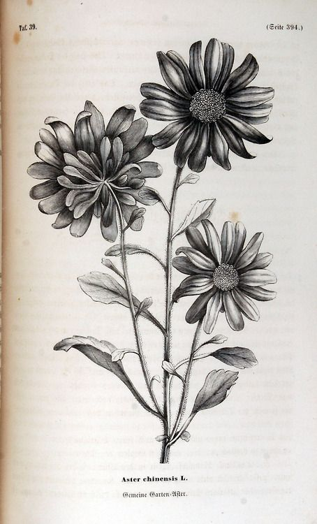 Aster Chinensis 1858 Aster Flower Tattoos Birth Flower Tattoos Aster Tattoo