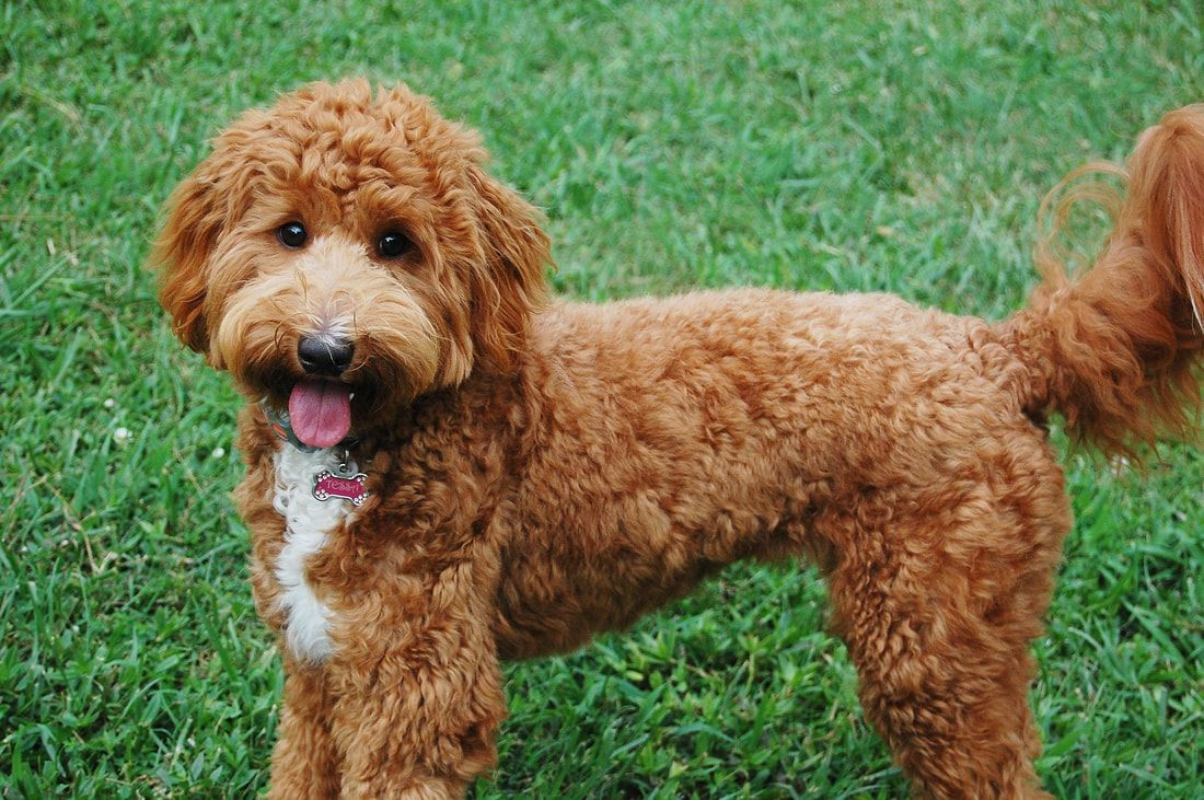 Mini Goldendoodle Curly Coat Google Search With Images