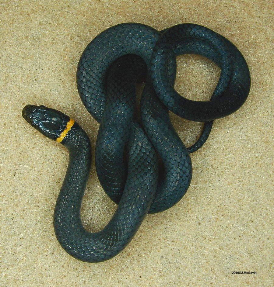 Northern Ringneck Snake 3 by on