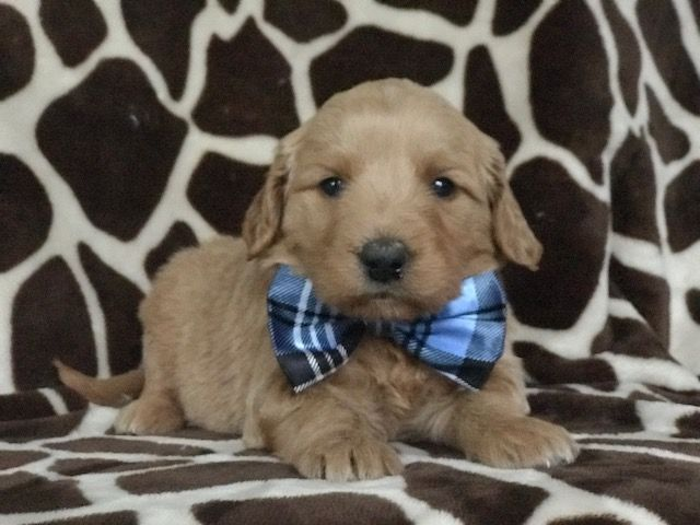 Goldendoodle Miniature Puppy For Sale In East Earl Pa Adn
