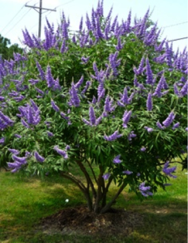 How To Propagate Vitex Texas Landscaping Garden Shrubs Plants