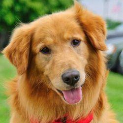 Duke Is An Adoptable Golden Retriever Dog In Minnetonka Mn An