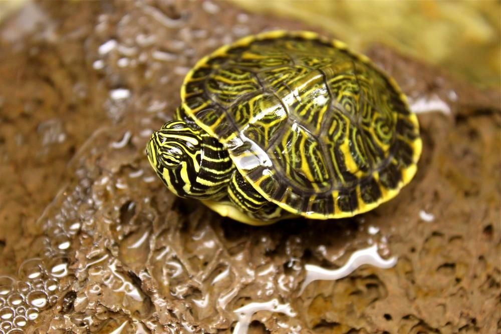 Terrapin Turtle Logo terrapin , turtles and pets on pinterest