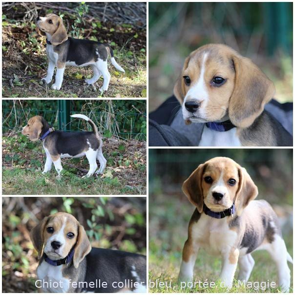 Chiot Beagle tricolore Pedigree 2 mois L'élevage du Clos