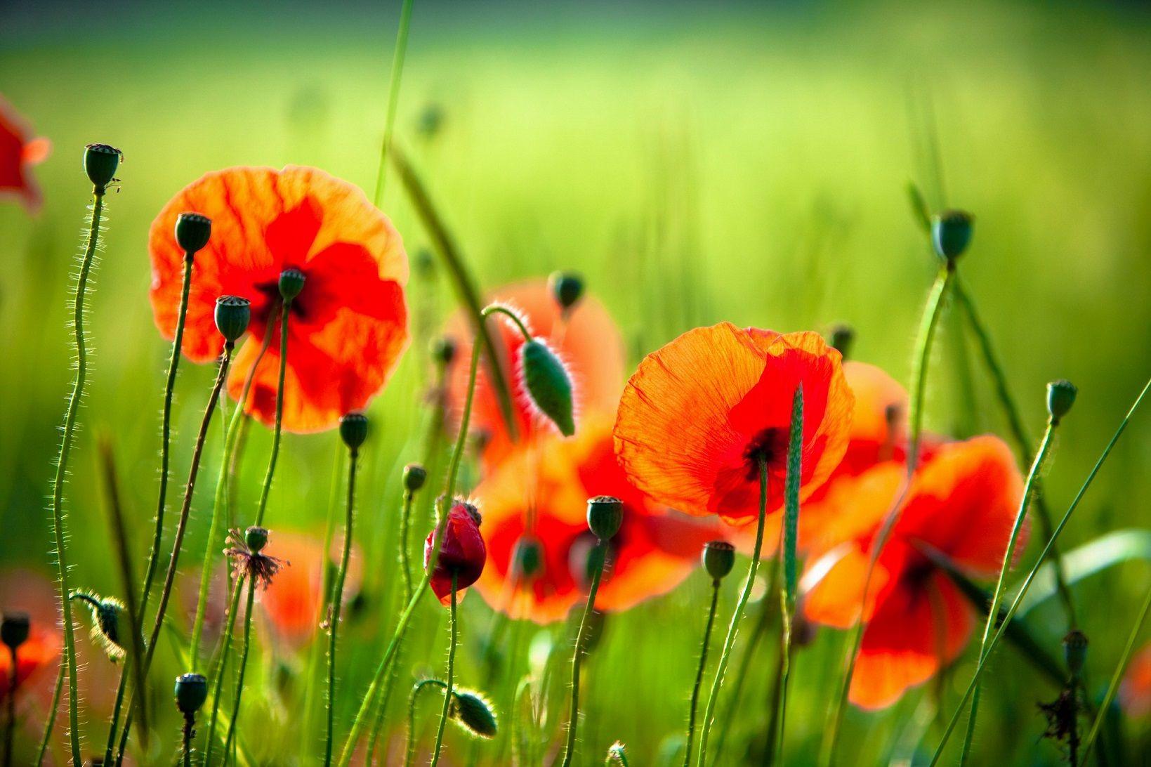 Fresh poppy flower