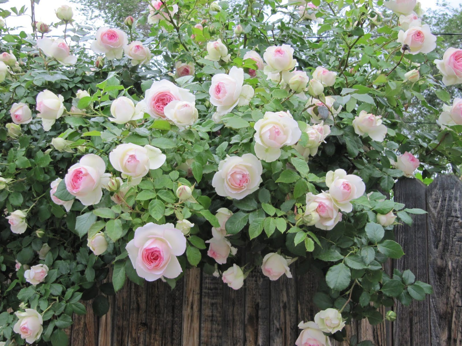 I need to plant some climbing roses outside my bedroom window so I ...