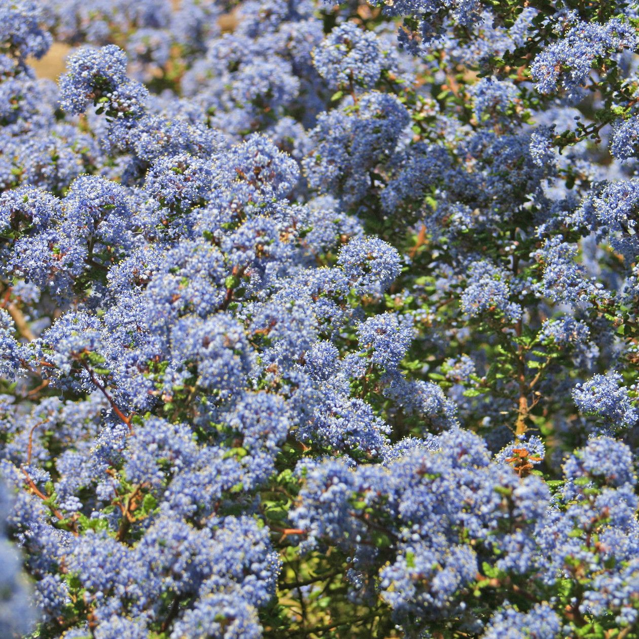 Ceanothus Dark Star Californian Lilac The Pretty Blue Flowering