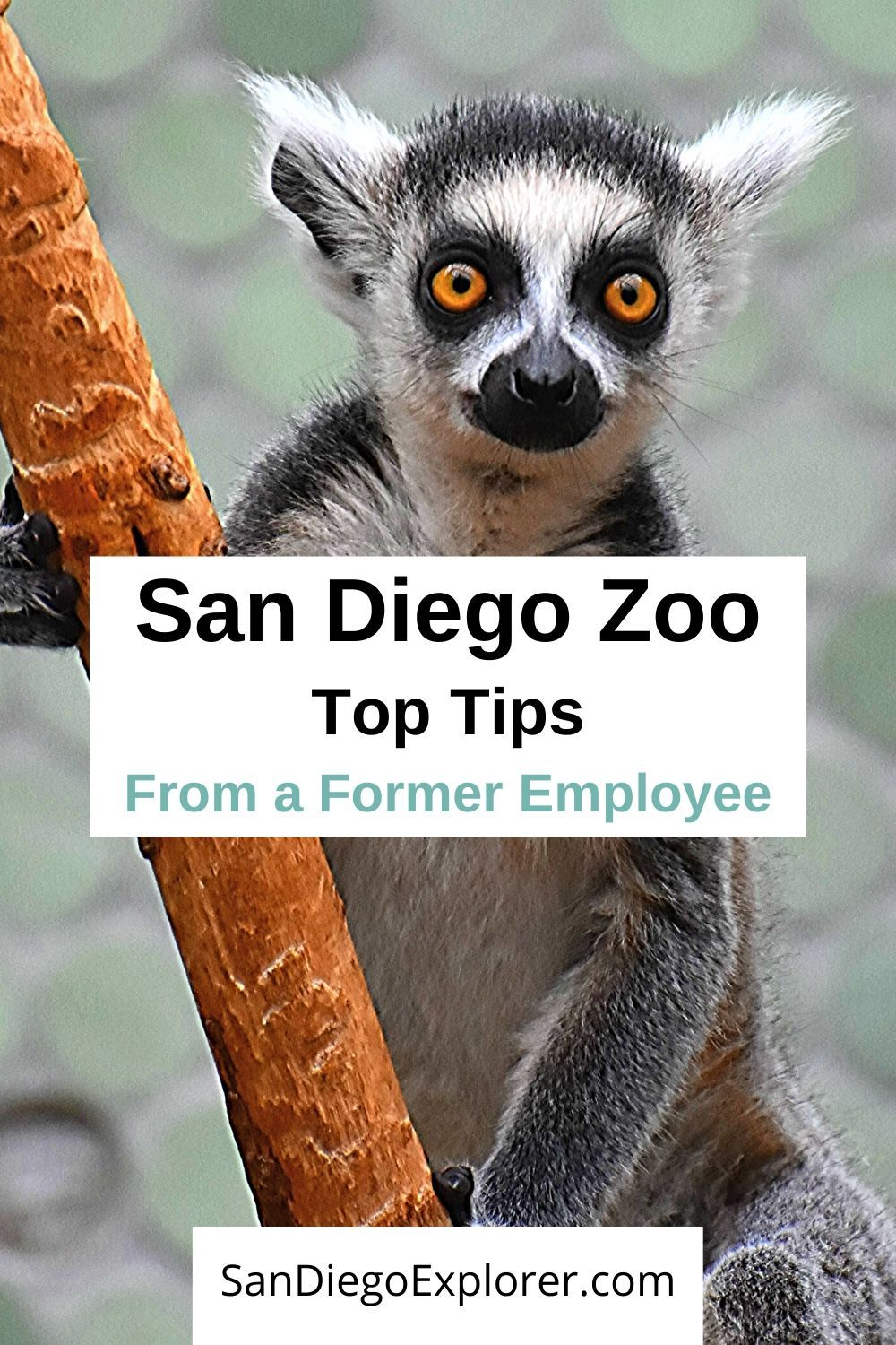 San Diego Zoo Tips by a former Zoo employee. MUST READ before visiting San Diego. If you're going to the zoo, then these are the essential San Diego Zoo tips you need to know before going. Plan your visit to the San Diego Zoo, see some San Diego Zoo pictures, tips to get cheap San Diego zoo tickets #sandiegoitinerary #traveltips #travel #sandiegotrip #visitsandiego #sandiegotravel #socallifestyle #californiatravel #sandiego #sandiegocalifornia #california #sandiegozoo #sandiegoexplorer