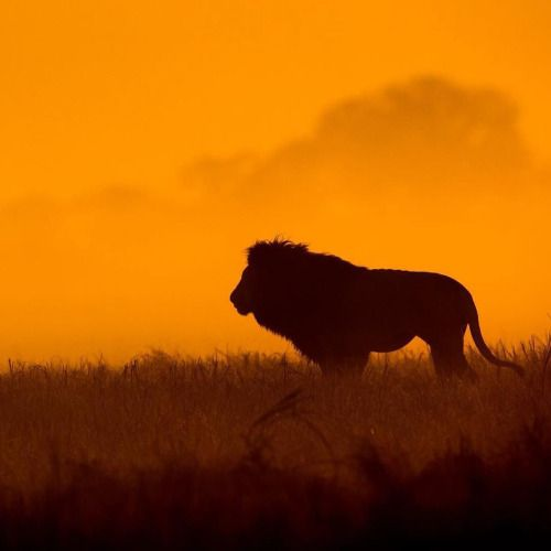 Lion silhouetted at dawn Zambia.  http://bit.ly/1Se0nkF  New...