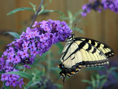How to Create a Butterfly Garden bythebutterflysite: A wealth of information is here. http://tinyurl.com/32m5v5  Find out what butterflies live in your area, the Host Plants (for caterpillars) the Nectar Plants (for butterflies) they like and then check out Garden Plans and Butterfly Behavior to Watch. #Butterfly_Garden #thebutterflysite