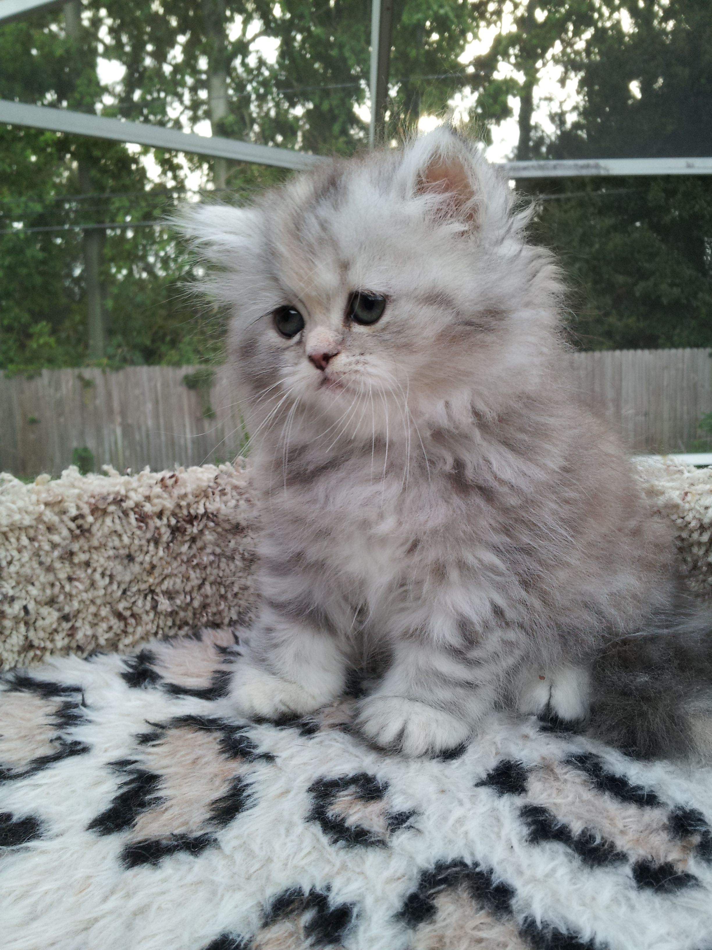 Silver Patched Tabby Persian Female Sold Liz Top Cat Cats And Kittens Persian Kittens Cute Cats And Dogs