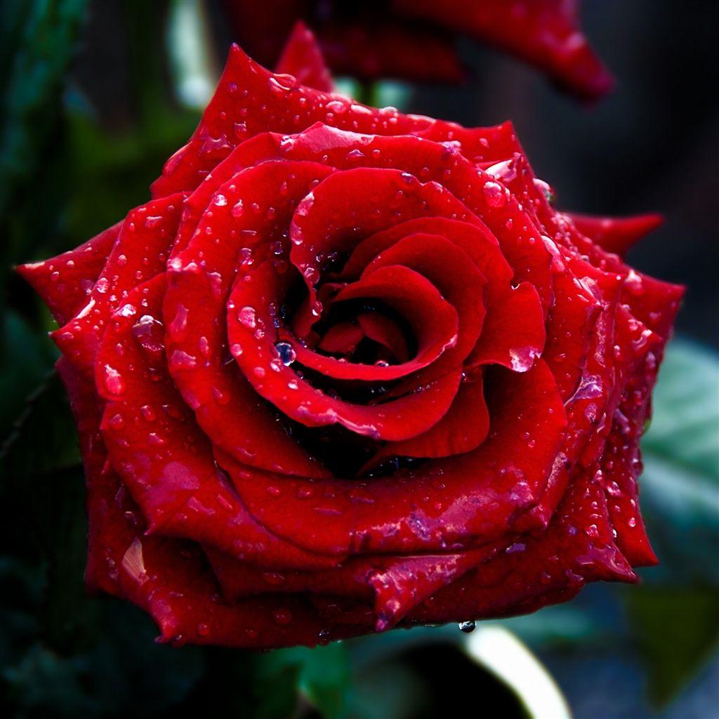 Red Rose Macro Shoot #iPad 4 #Wallpaper Download