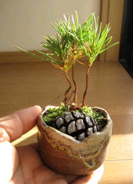 Dishfunctional Designs: DIY Pine Cone Bonsai