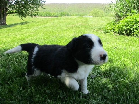 Litter Of 6 Border Collie Puppies For Sale In Mc Veytown Pa Adn