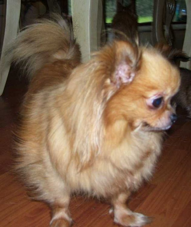 long haired chihuahua puppies for sale melbourne   Zoe Fans Blog