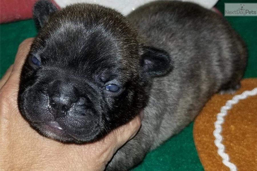Lokie French Bulldog Puppy For Sale Near Houston Texas