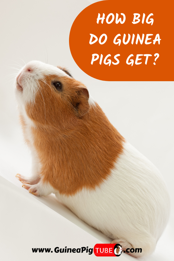 Pin On Guinea Pig Breeds And Breeding