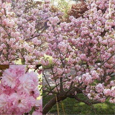 Kwanzan Flowering Cherry Tree Flowering Cherry Tree Japanese Cherry Tree Flower Landscape