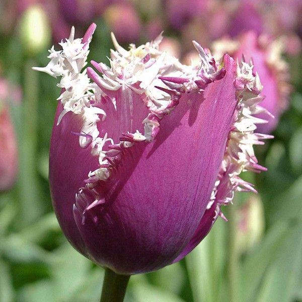 die tulpe 39 cummins 39 ist einzigartig sch n zart violett mit wei en zacken die sich wie. Black Bedroom Furniture Sets. Home Design Ideas