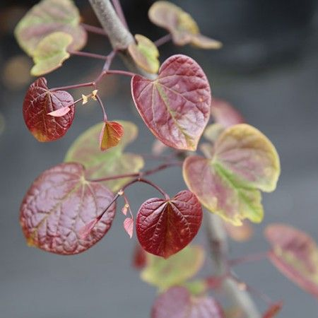 Cercis-canadensis-Forest-Pansy-Oct-2013