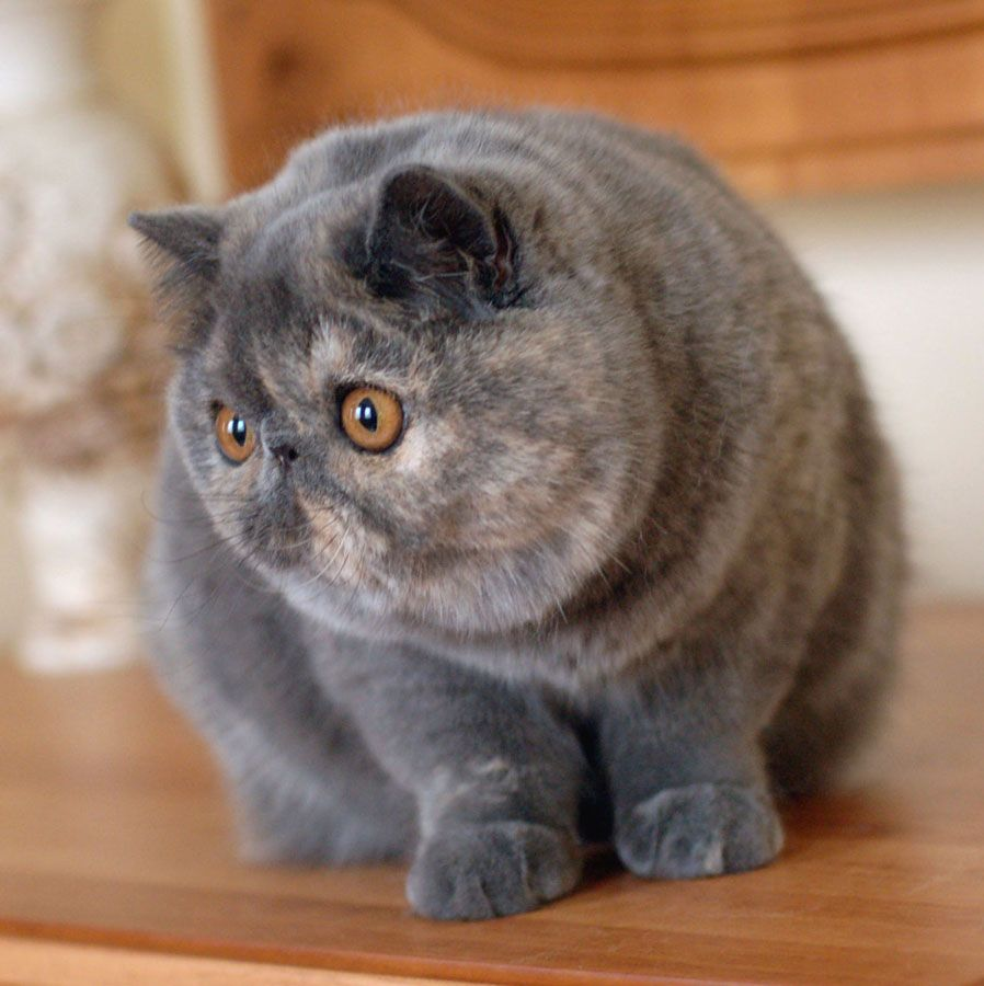 Pin On Exotic Shorthair Cat Breed