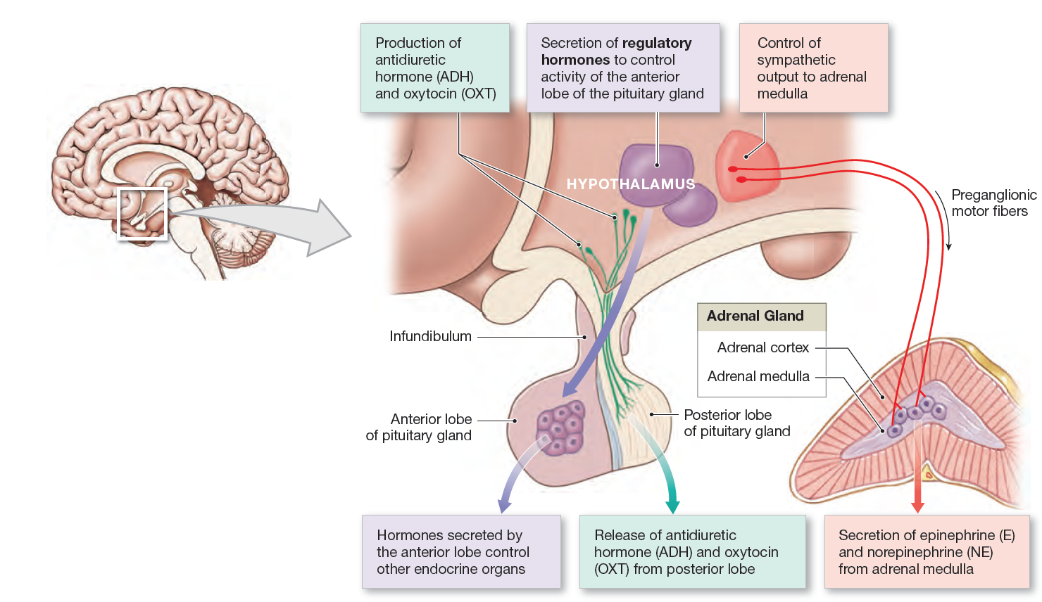 Hypothalamus And The Endocrine System Anatomy And Physiology