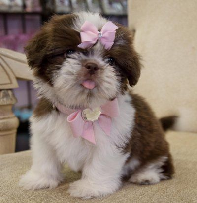 Cassie S Closet Shih Tzu Puppies And Kitties Shitzu Dogs