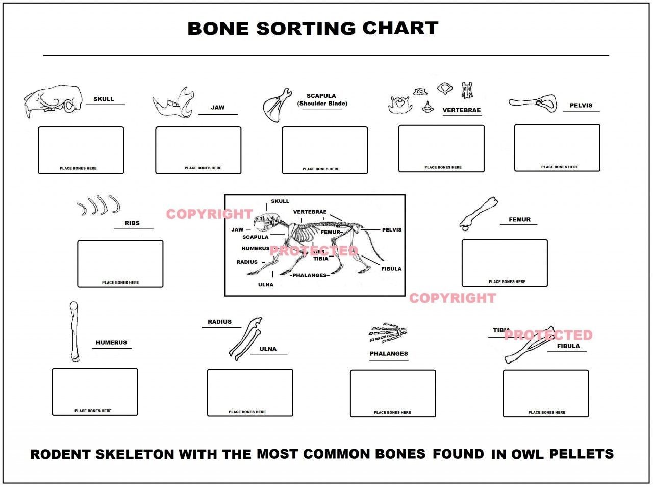 Printables Of Owl Pellet Bone Chart Worksheet