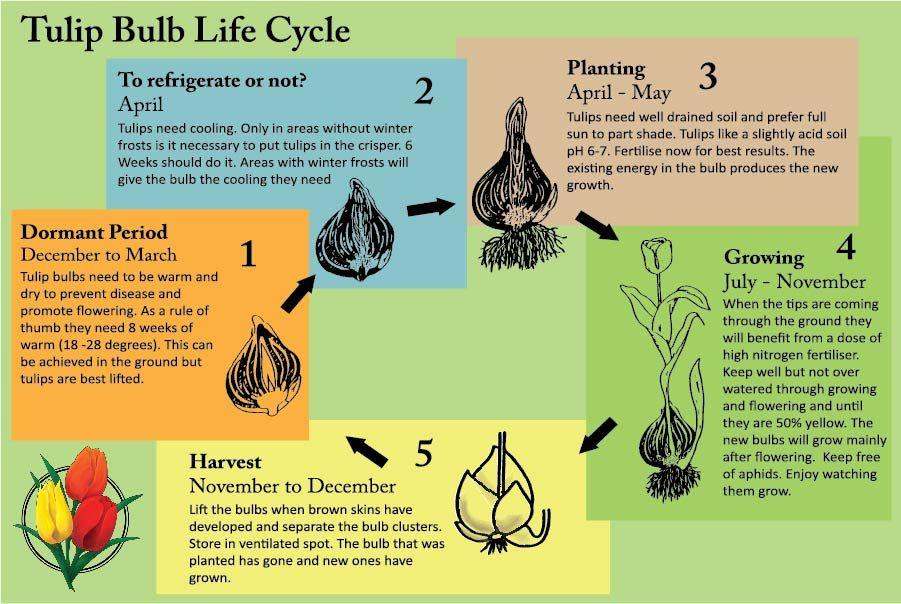 Growing Cycle Of Tulips Vdq Bulbs Tulip Bulbs Tulips Bulb