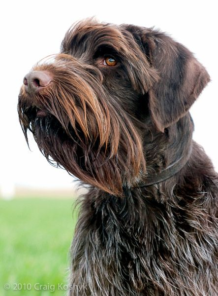 Wirehaired Pointing Griffon Hunting Dogs Dog