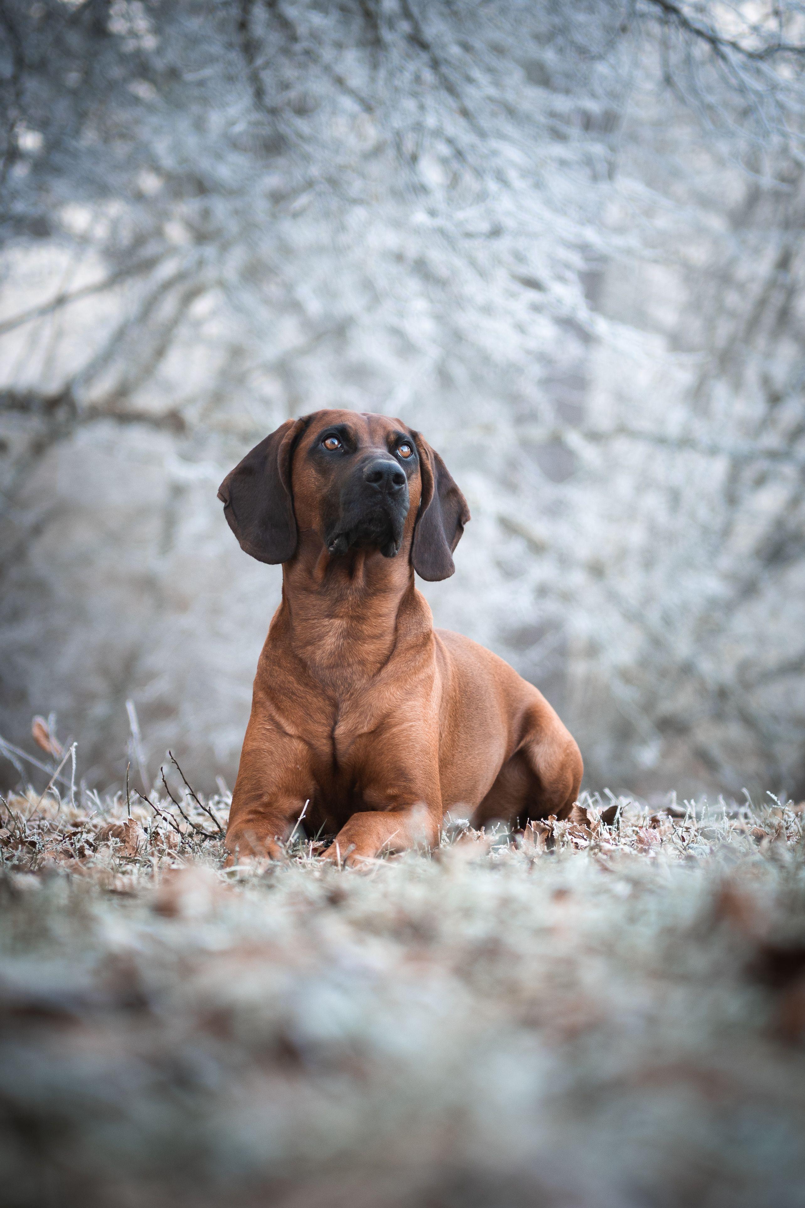 Bayerischer Gebirgsschweisshund Tobias Westen Photography Tierfotograf Hundefotograf In 2020 Bayerischer Gebirgsschweisshund Bayrischer Gebirgsschweisshund Tierfotograf