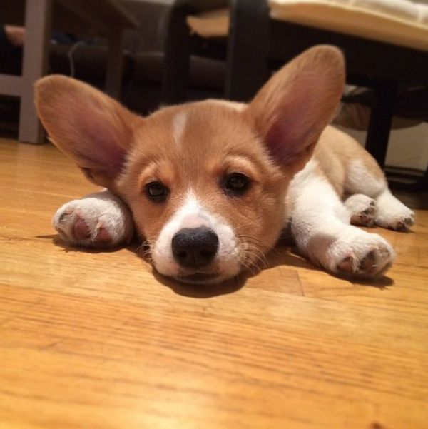 Iwok | The 25 Cutest Corgi Puppies Currently Online