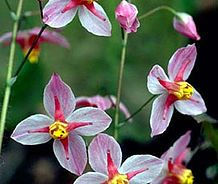 Largest Collection Of Epimediums For In Australia Epimedium Nursery
