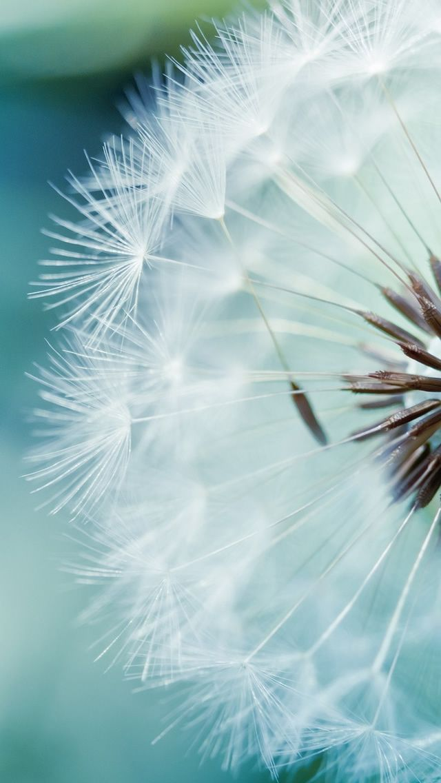 Closeup of a dandelion on a blue background Backgrounds stock