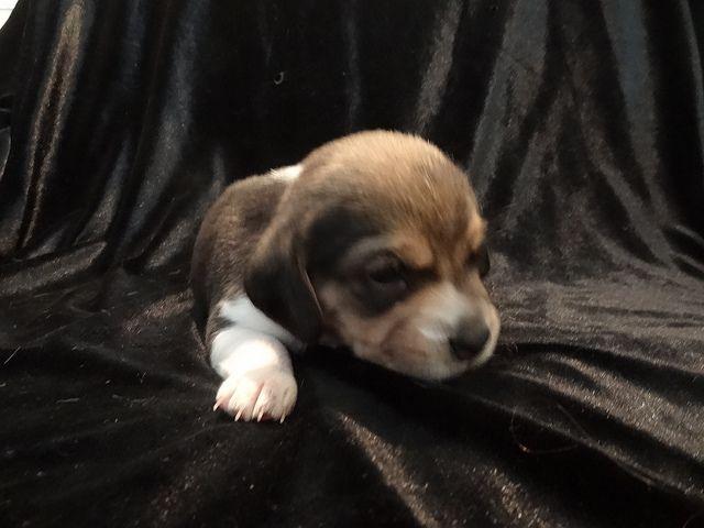 Beagle Dog New Born Miniature Pocket Beagle Beagle Puppy Dogs