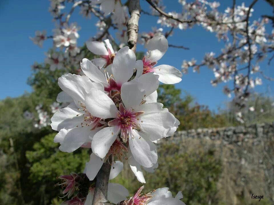 Flor almendro