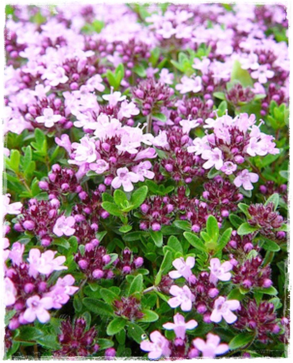Fiori Da Vaso Perenni timo serpillo | coltivare i fiori, fiori esotici