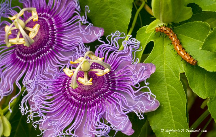 Passion Flower Vine With Caterpillars Purple Passion Flower Flowering Vines Passion Flower