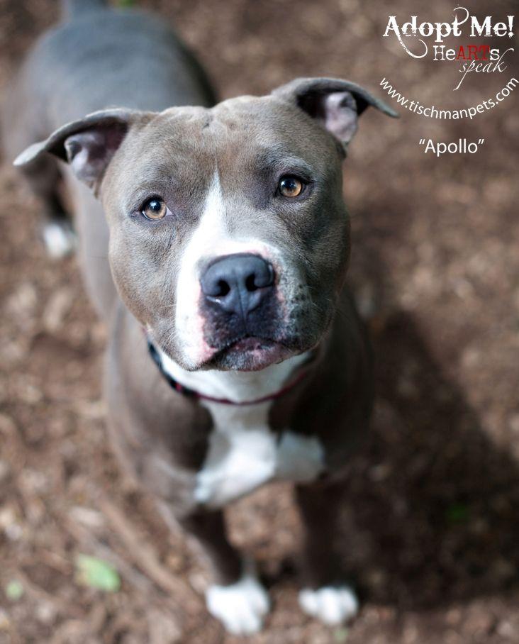 Adopt Apollo Blue Pitbull On Cute Animals Animal Lover Blue Pitbull