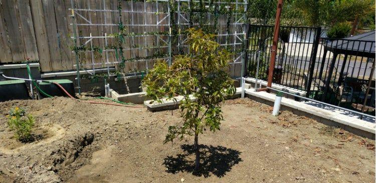 Aprende A Cultivar Trasplantar Podar Y Germinar Un Aguacate Aguacate Planta Cultivar Aguacate
