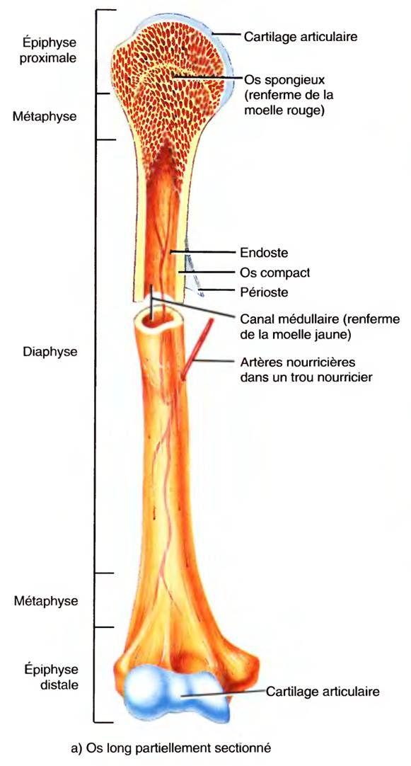 L\'ANATOMIE: LA STRUCTURE DE L\'OS | Ostéologie | Pinterest | Anatomie ...