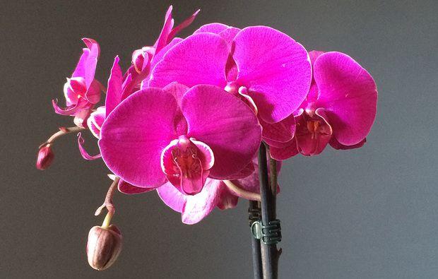 5 Consigli Per Avere Orchidee Bellissime Con Immagini Orchidea
