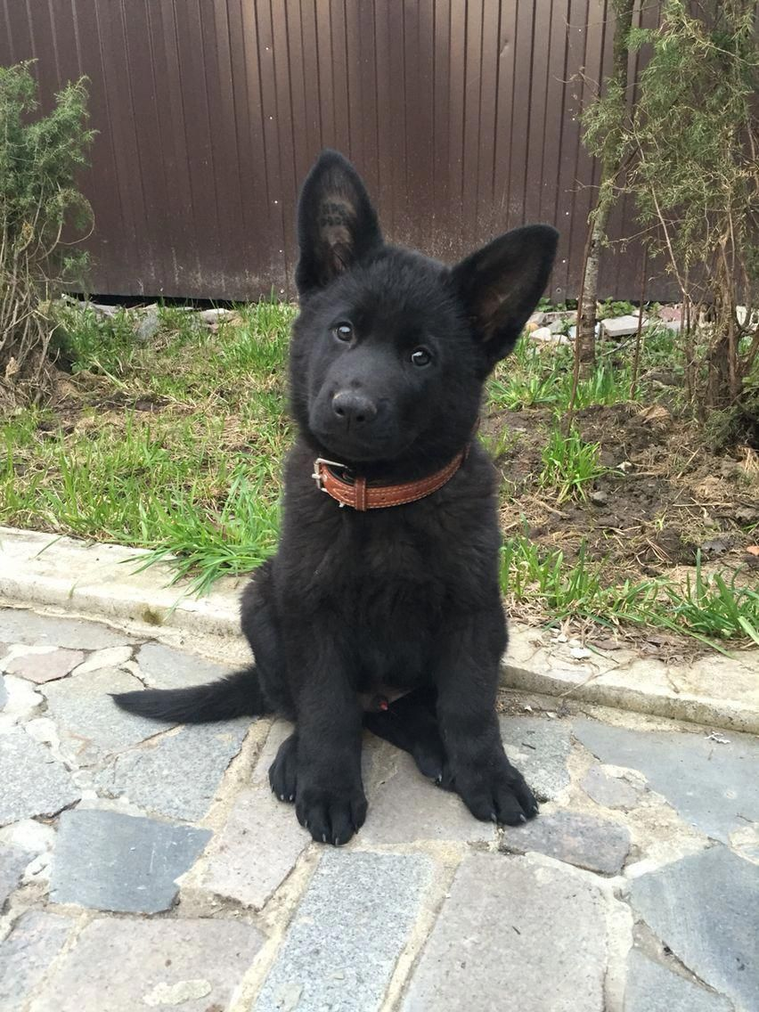 Facts On The Confident German Shepherd Puppies Temperament