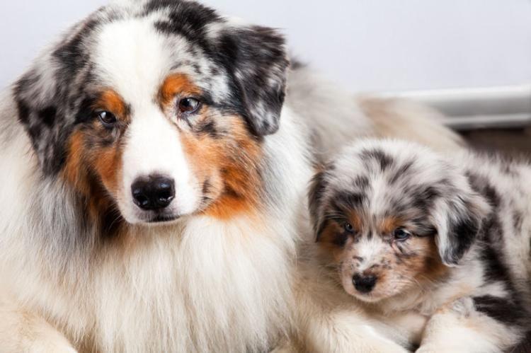 Wir Planen Weihnachtsbabys Australian Shepherd Aussie Dogs
