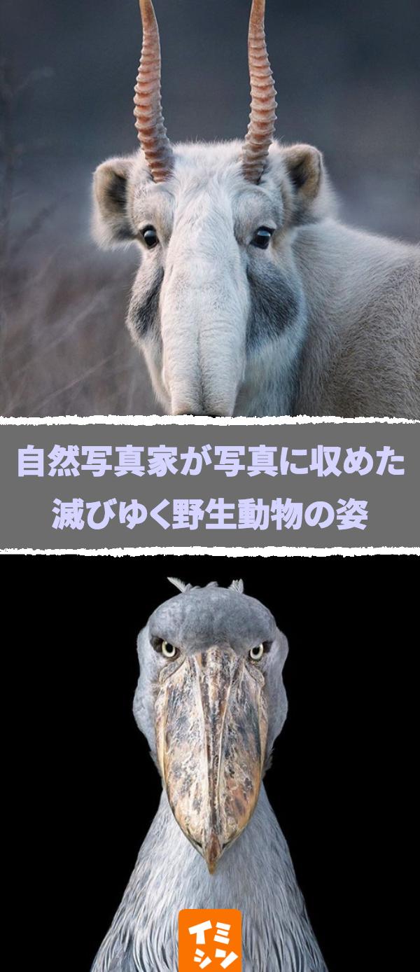 カメラマンが写真に捉えた滅びゆく野生動物の姿 近い将来 地球から姿を消しているかもしれない Pinterest Hash Tags Max 8 画像 野生動物 絶滅危惧種 カメラ 自然 危機 動物 野生動物 可愛い 動物