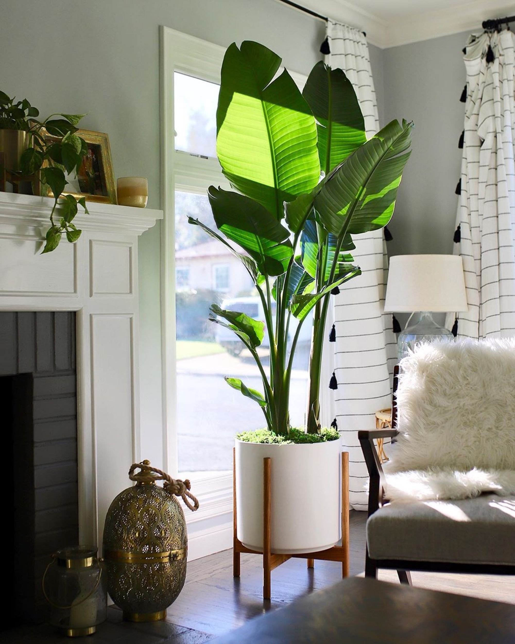 Bird Of Paradise In 2020 Living Room Plants Decor Plant D